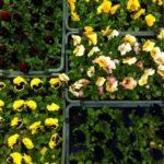 Virágok ládában